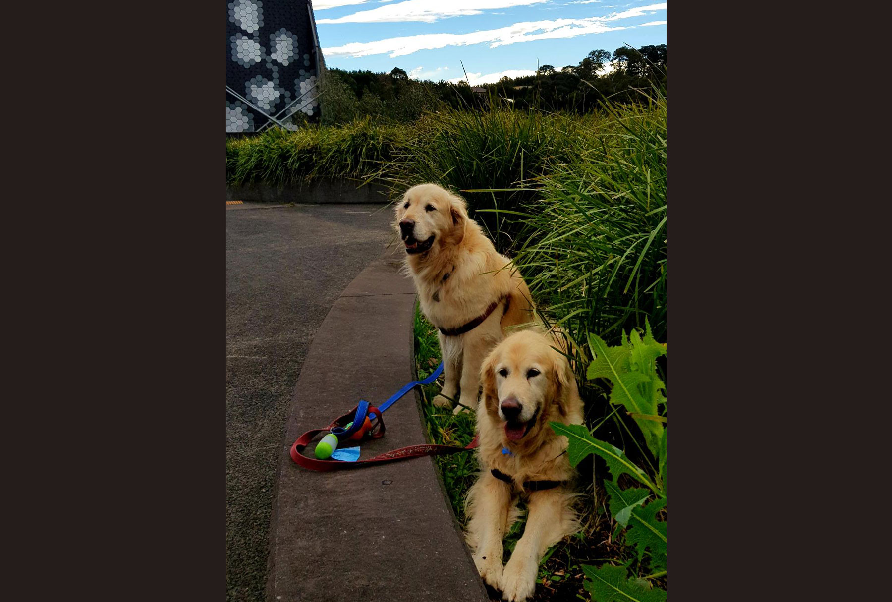 Goldens can have osteoarthritis