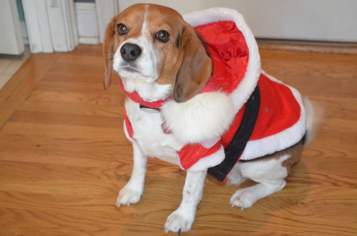 Angry Santa Beagle
