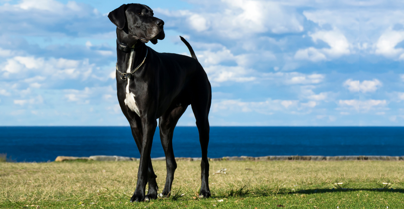 Great Dane Black