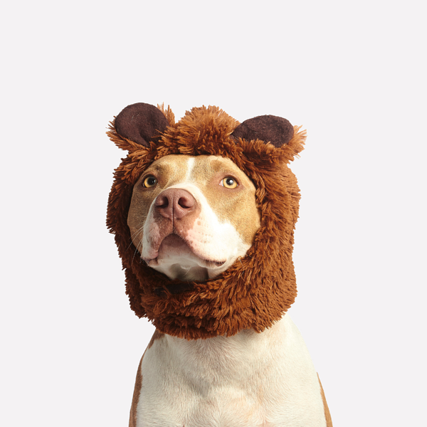 Halloween costume on American Staffordshire Terrier