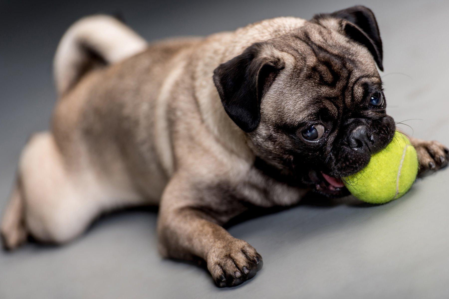 Pug deserves a toy!
