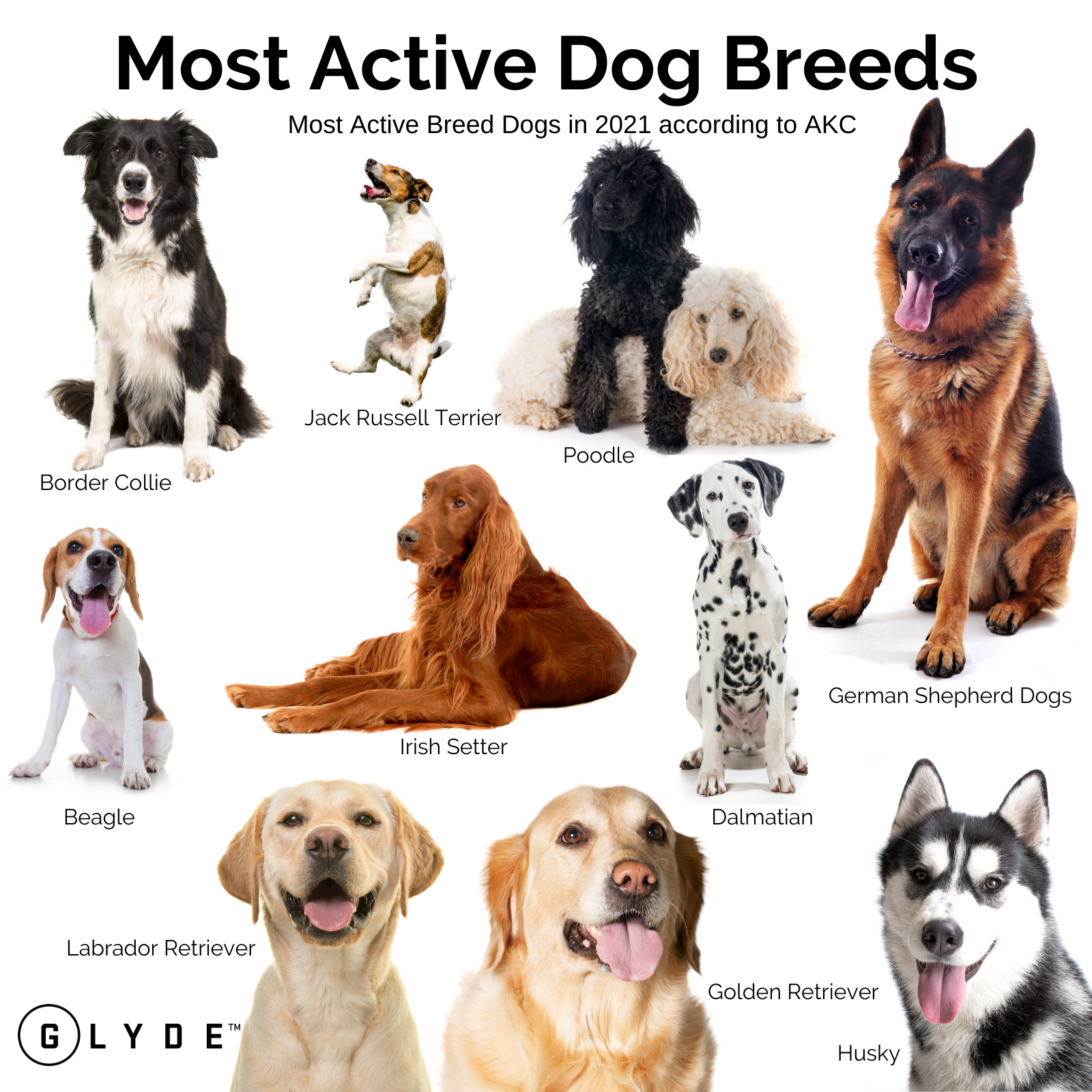 Active Breed Dog Infographic final