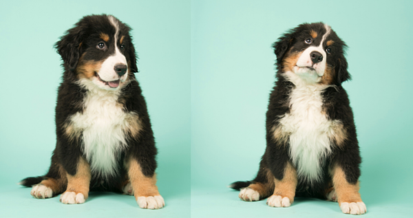 Berner Puppies