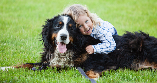 Bernese Mountain Dogs love kids