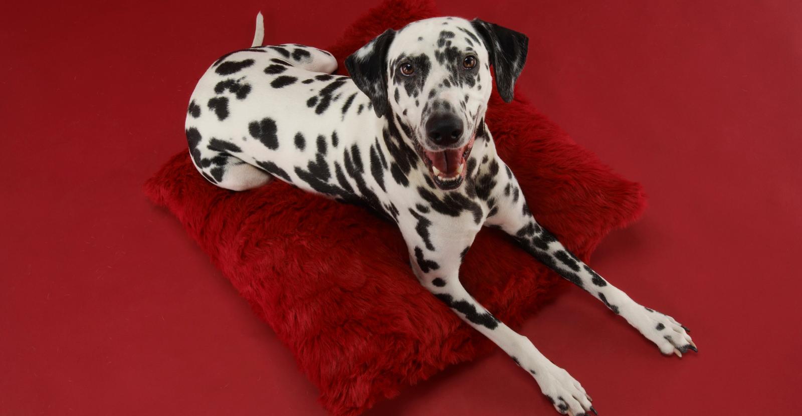 Dalmatian in Red