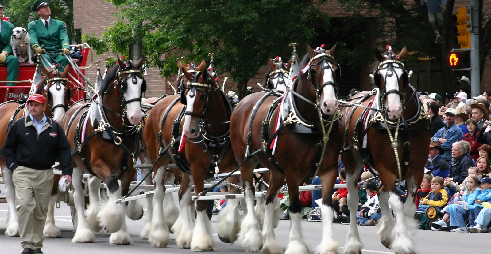 Dalmatian riding with Clydesdales