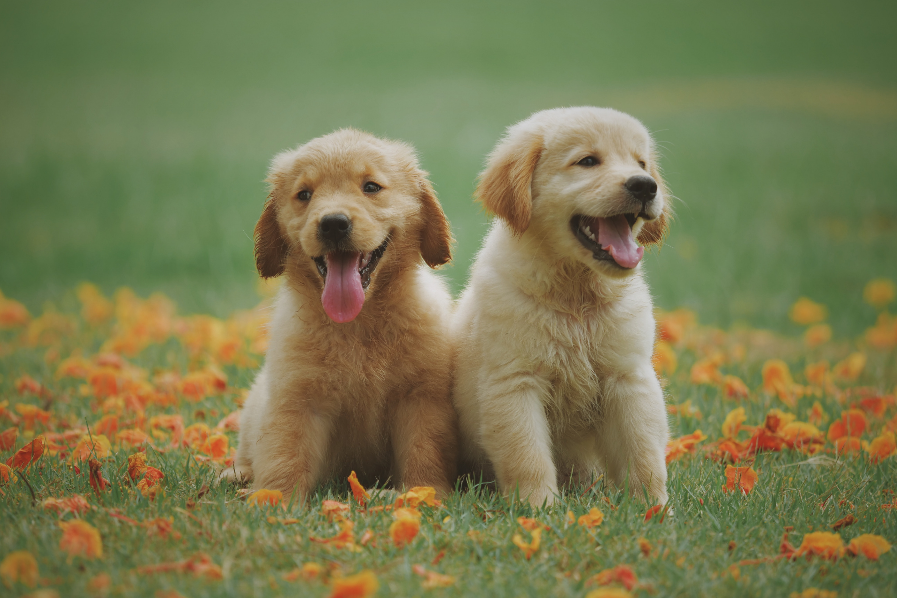 Two adorable golden puppies