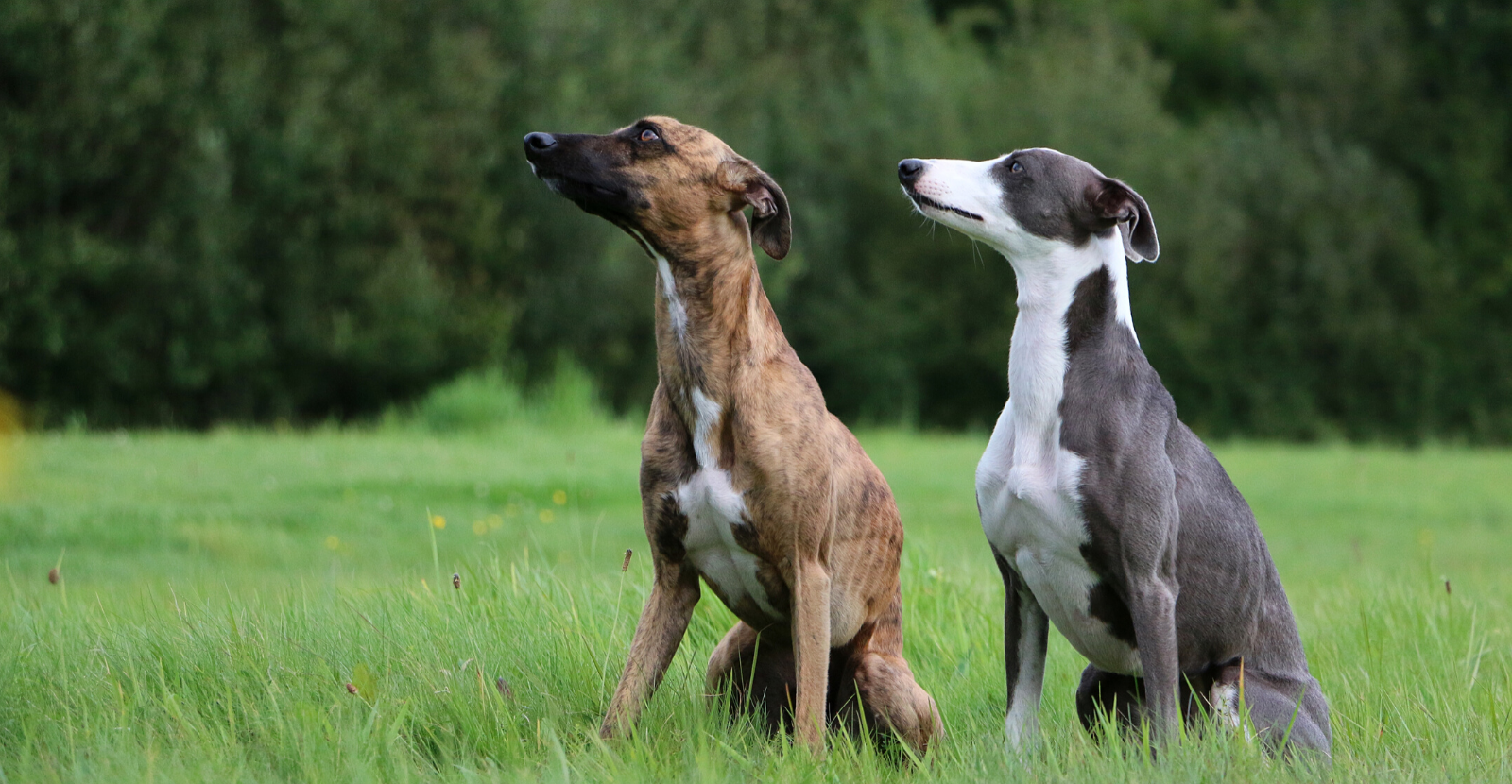 2 dogs greyhounds