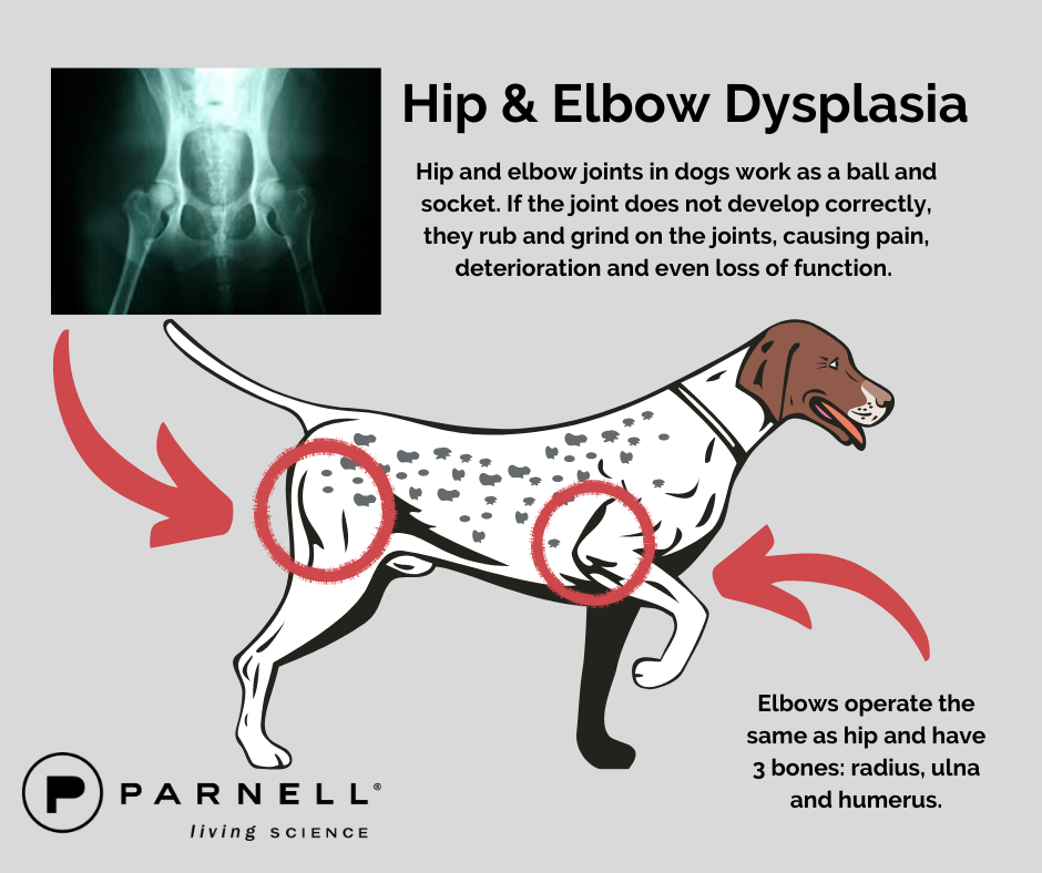 Joint Problems: Hip & Elbow Dysplasia in Dogs