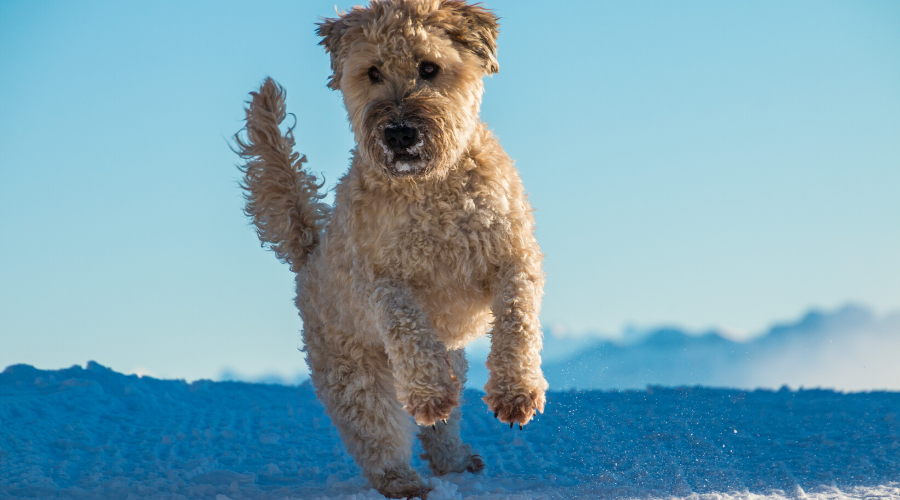 Irish breed dogs Irish Wheaten Terrier