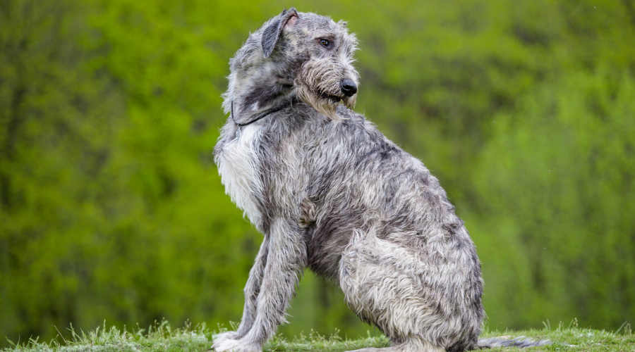 Irish breed dogs Irish Wolfhound