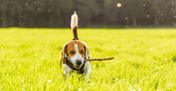 Beagle with stick