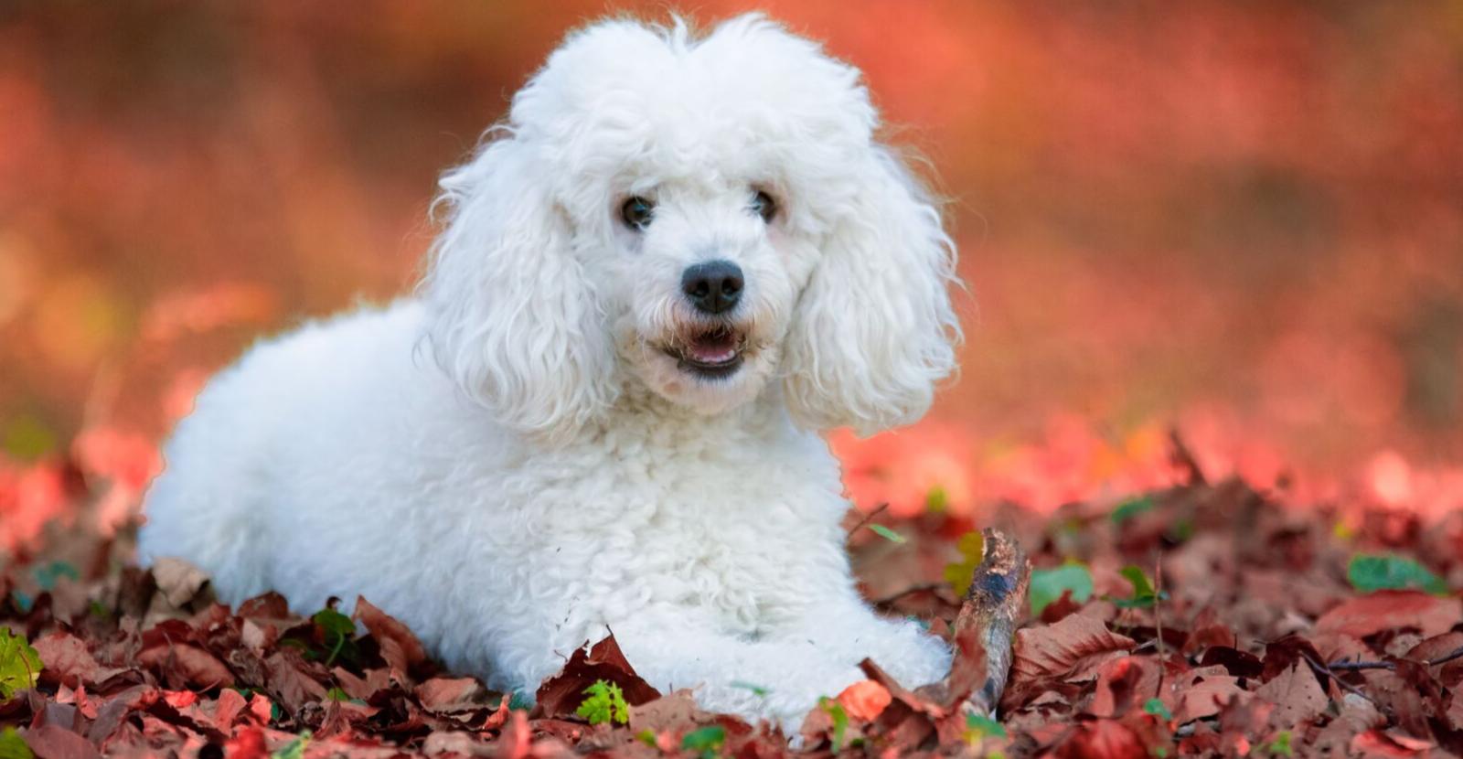 White Minature Poodle