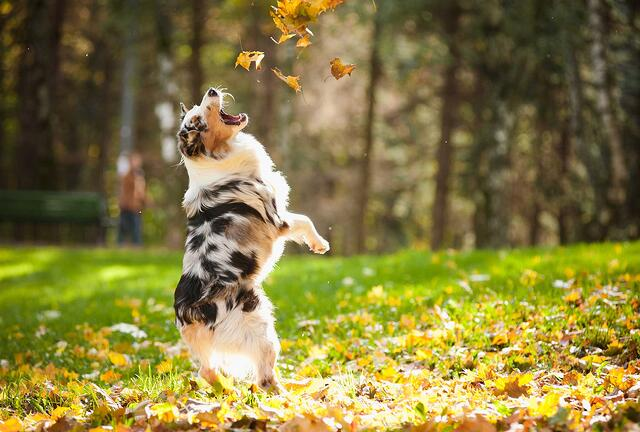 dog-jumping-for-leaves.jpg