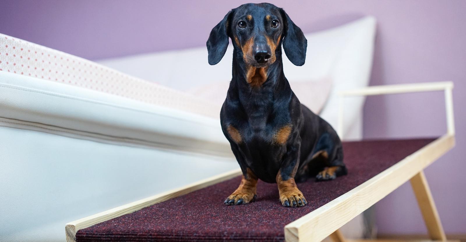 dog using ramp at home