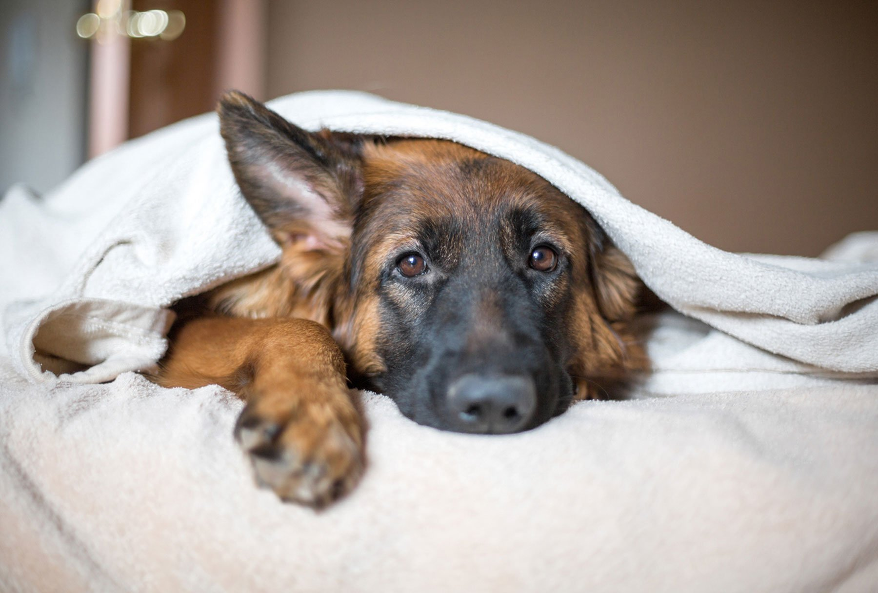 Learn about pain medication for dogs and cats