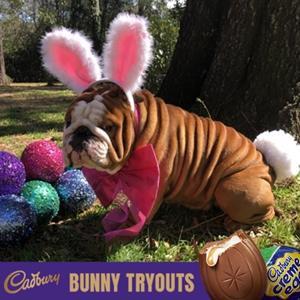 Henri is the Cadbury Easter Bunny