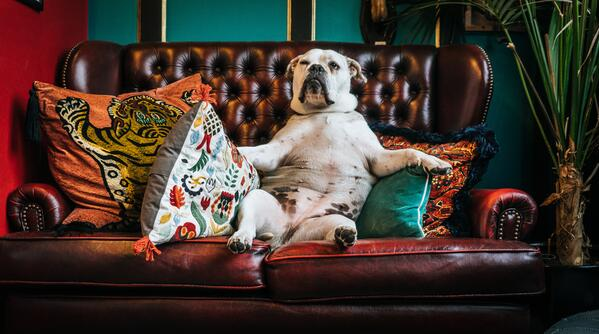 Bulldogs are too cute how they sit