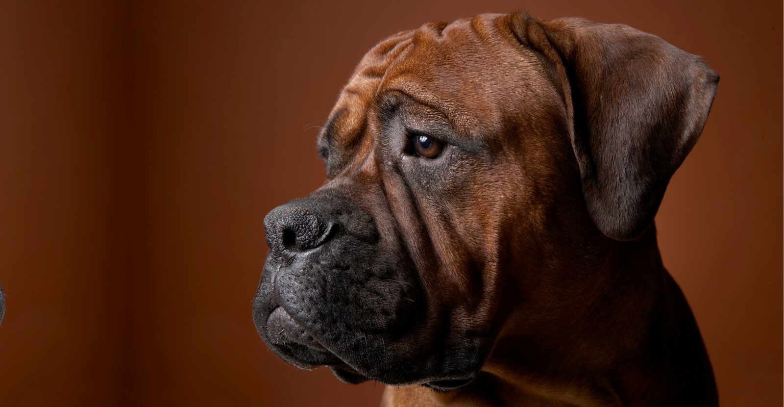 Bear the Boxer is a #GlydeDog [VIDEO]