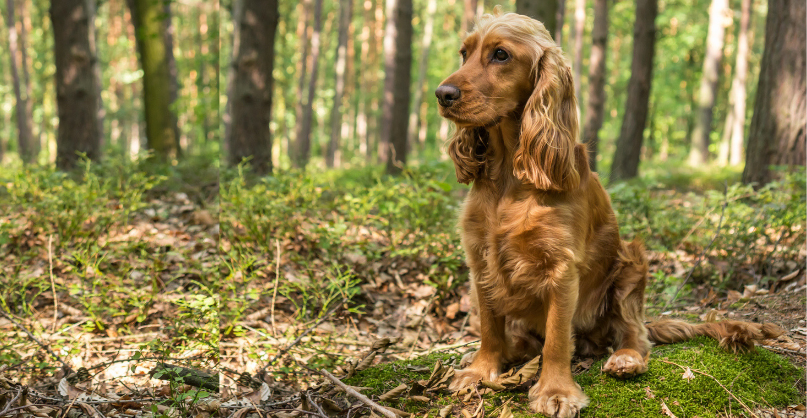 Cocker Spaniels: Beauty, Grace & At Risk for Arthritis