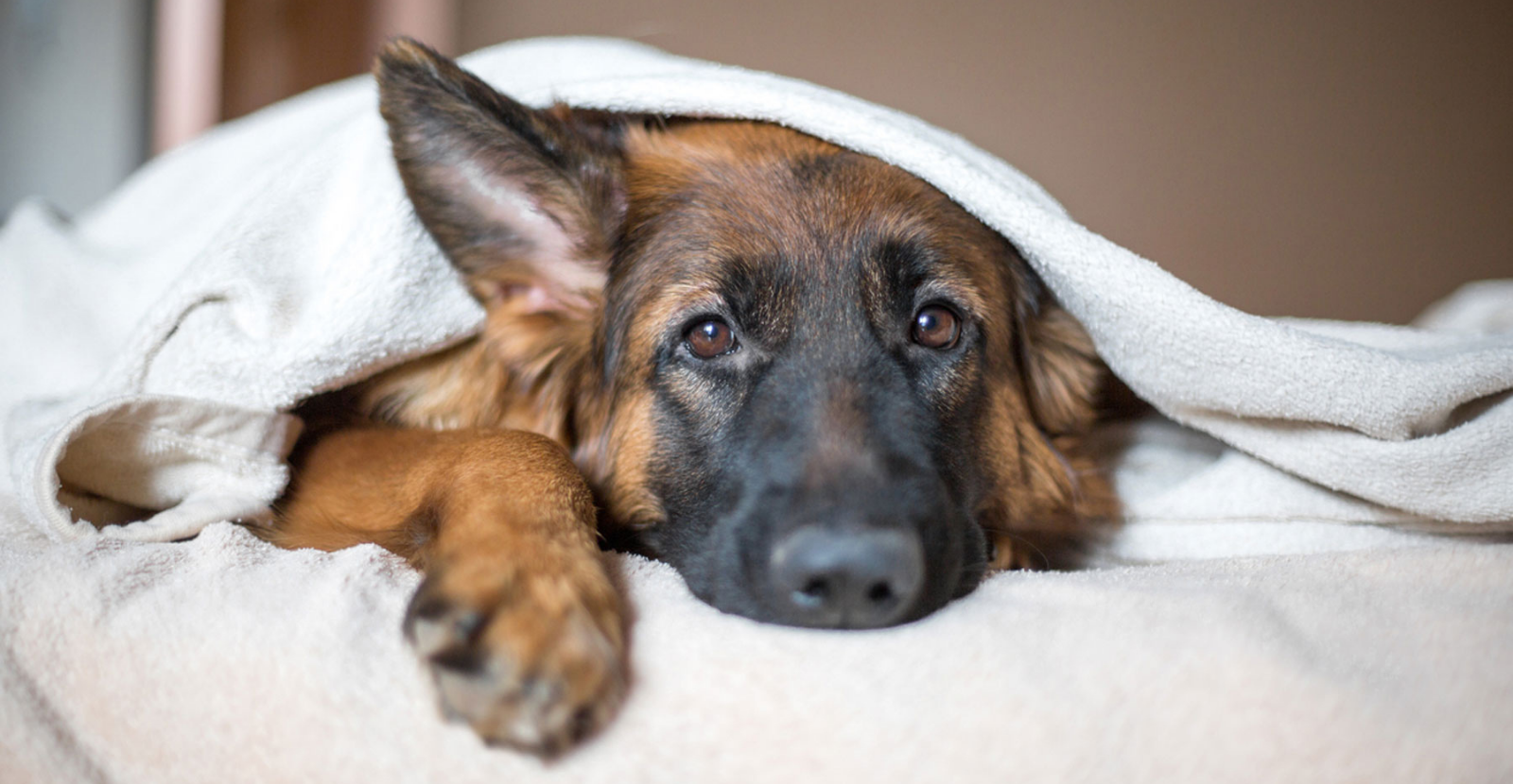 What You Should Know about Pain Meds for Dogs