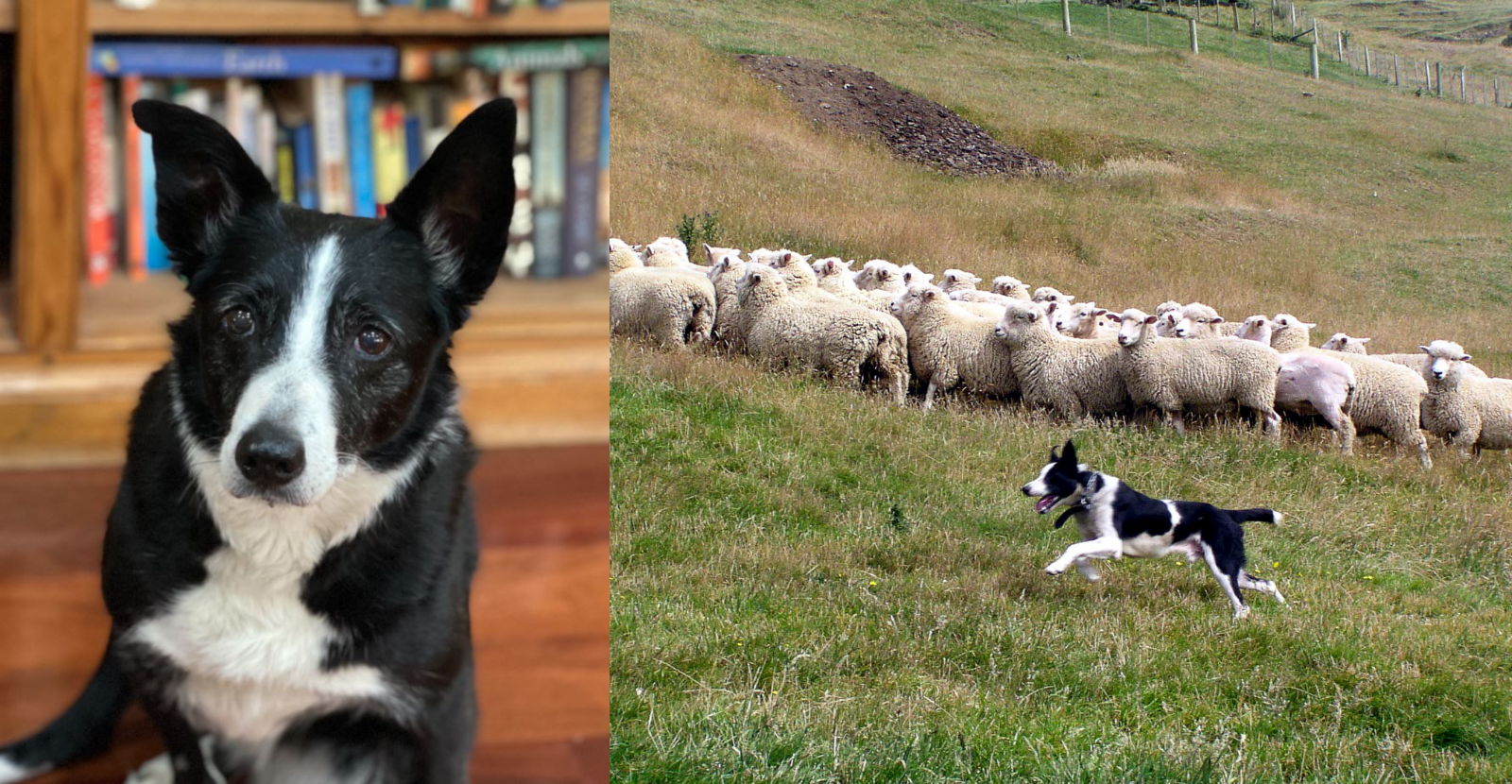 Glyde Helps Senior Herding Dog Stay Active