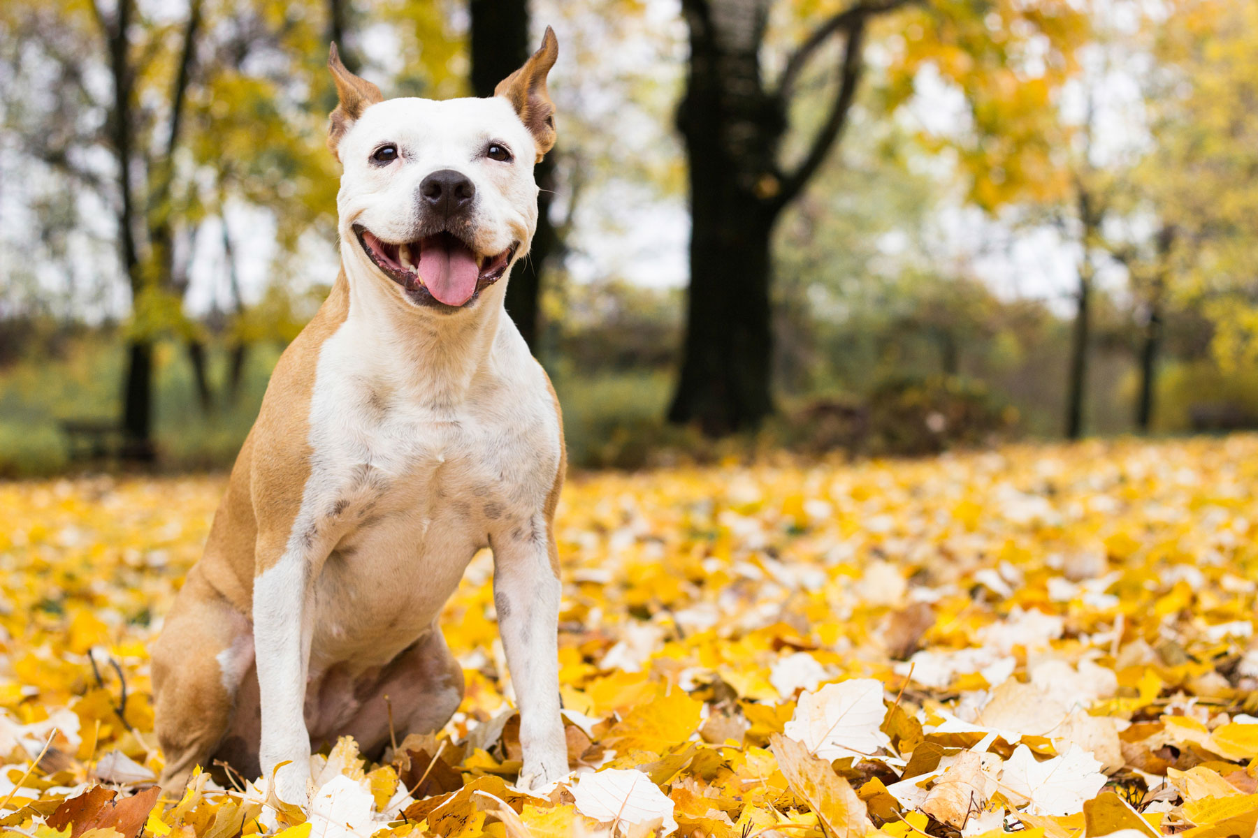 Pit Bull-Type Dogs: February Arthritis Risk Spotlight