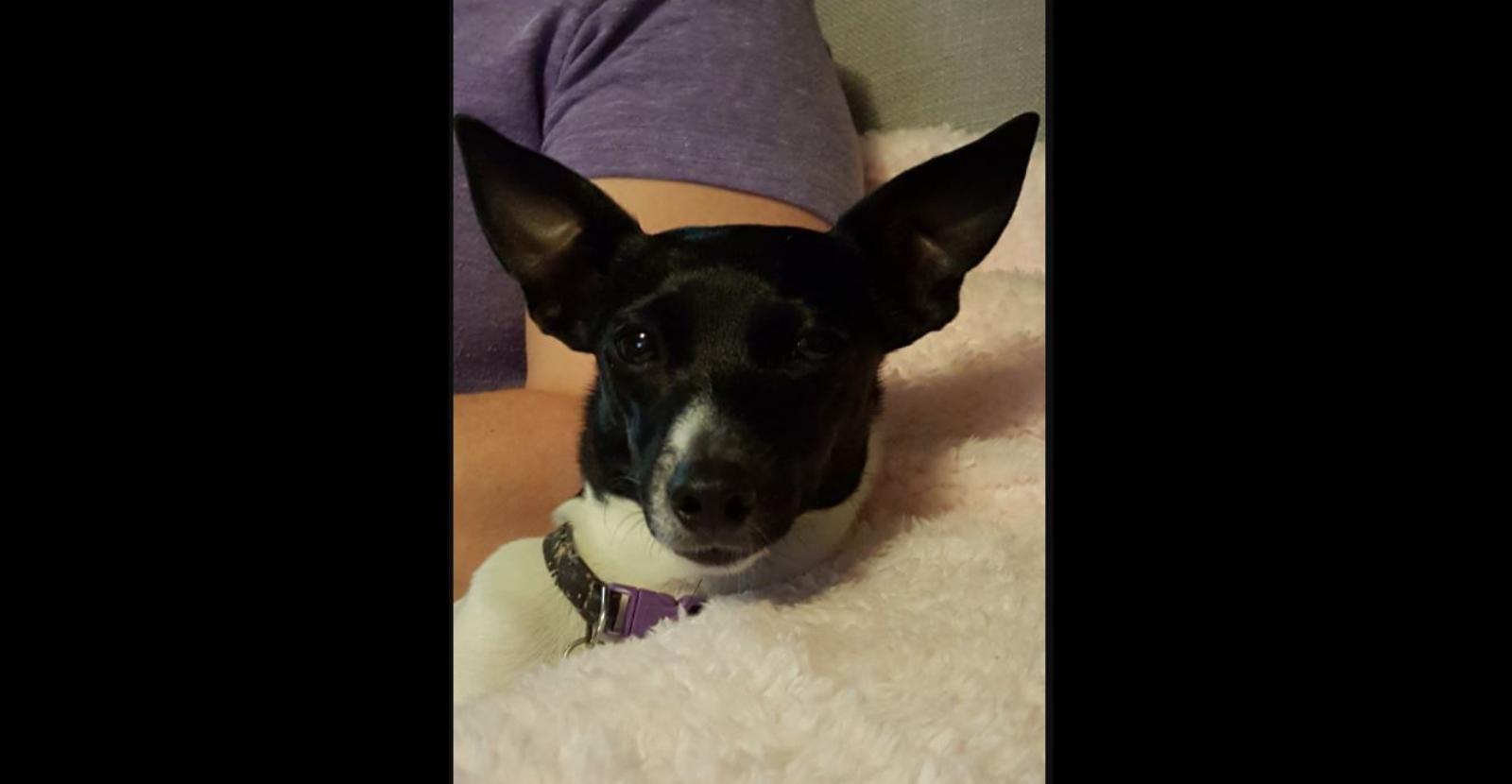 Luna the Fox Terrier Loves Glyde