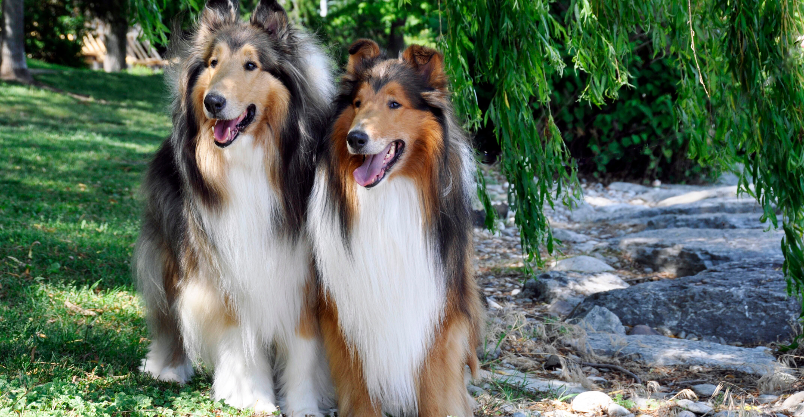 Collies: Happy, Heroic and Arthritis Risk