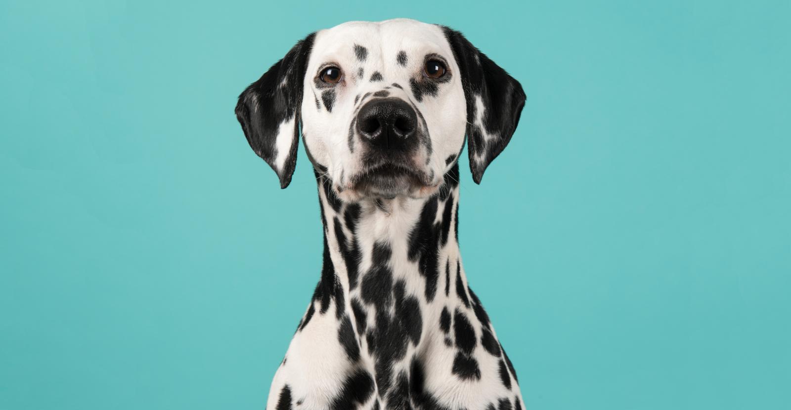 Dalmatians are Smart, Agile & Outgoing Fire Dogs