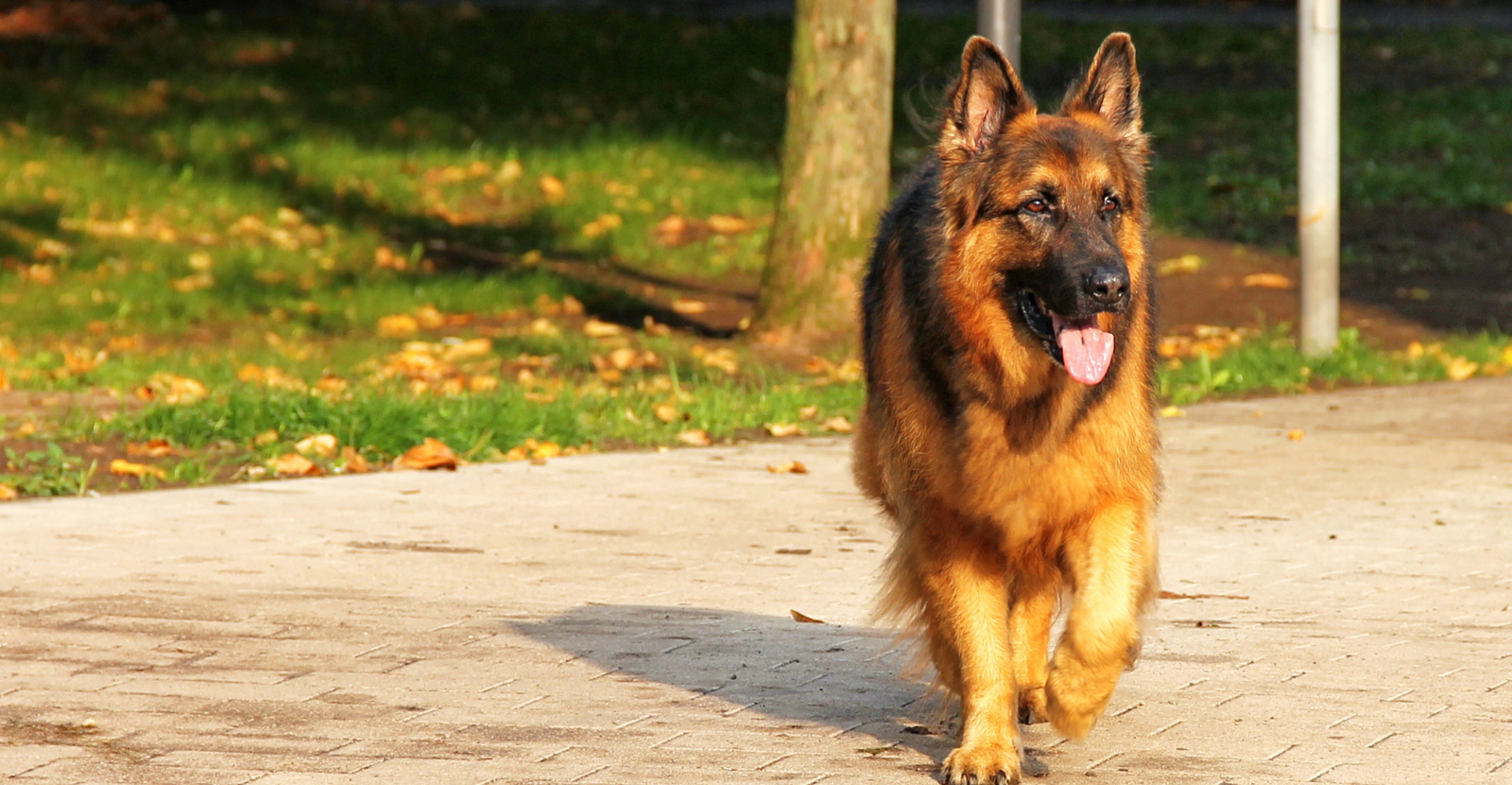 Why We Love German Shepherds