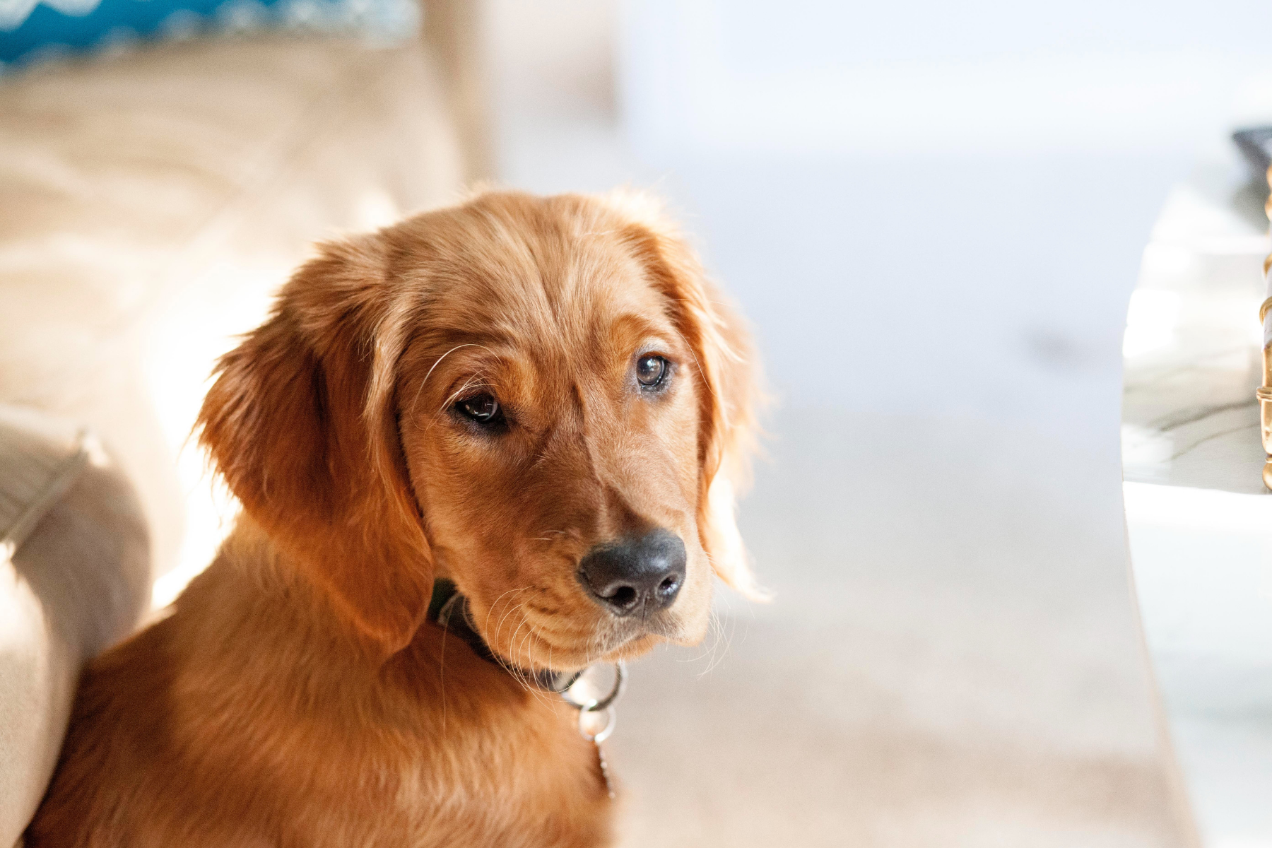 Golden Retrievers: March Arthritis Risk Spotlight