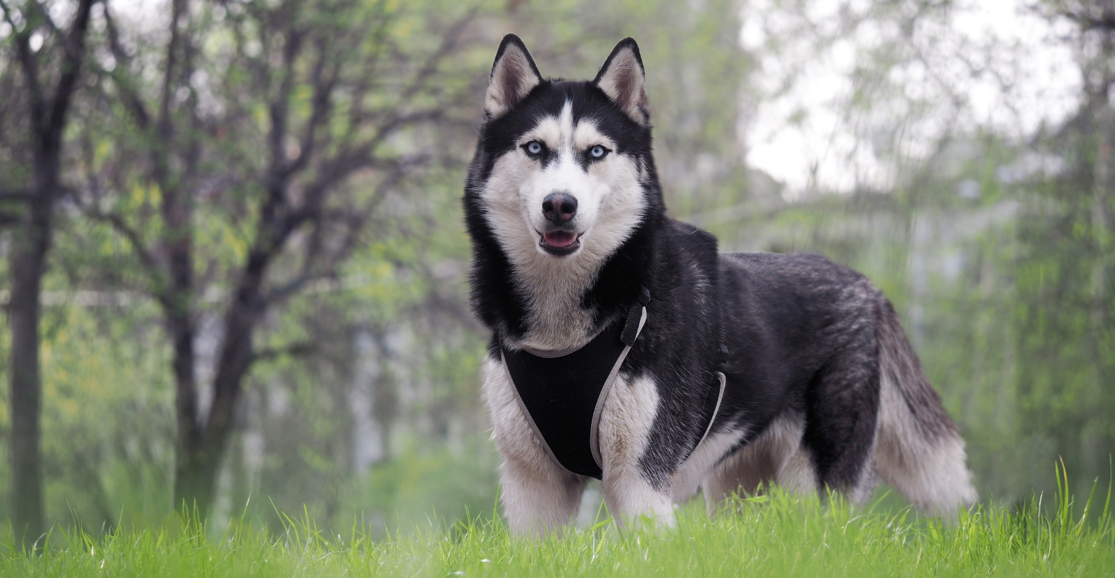 Strikingly Beautiful Huskies Are at Risk for Arthritis