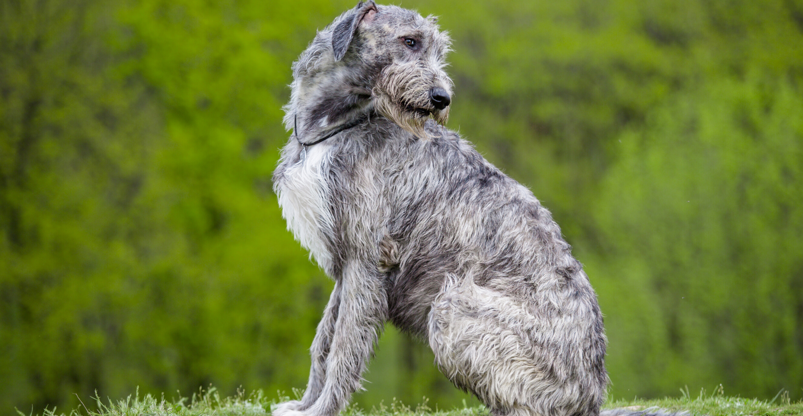 Celebrating Luck of the Irish Wolfhound & Irish Setter