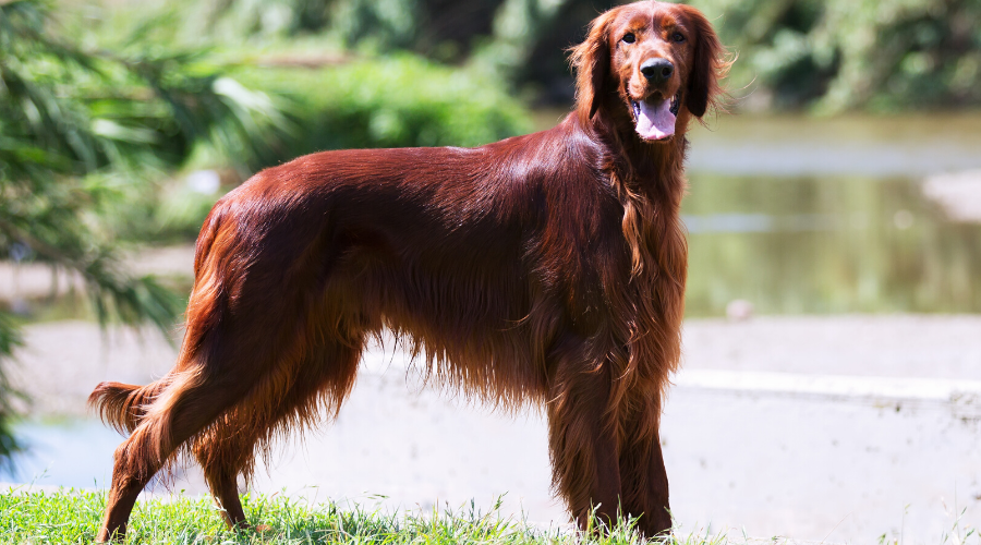 Top Irish Dogs, Irish Wolfhound, Irish Setter & More