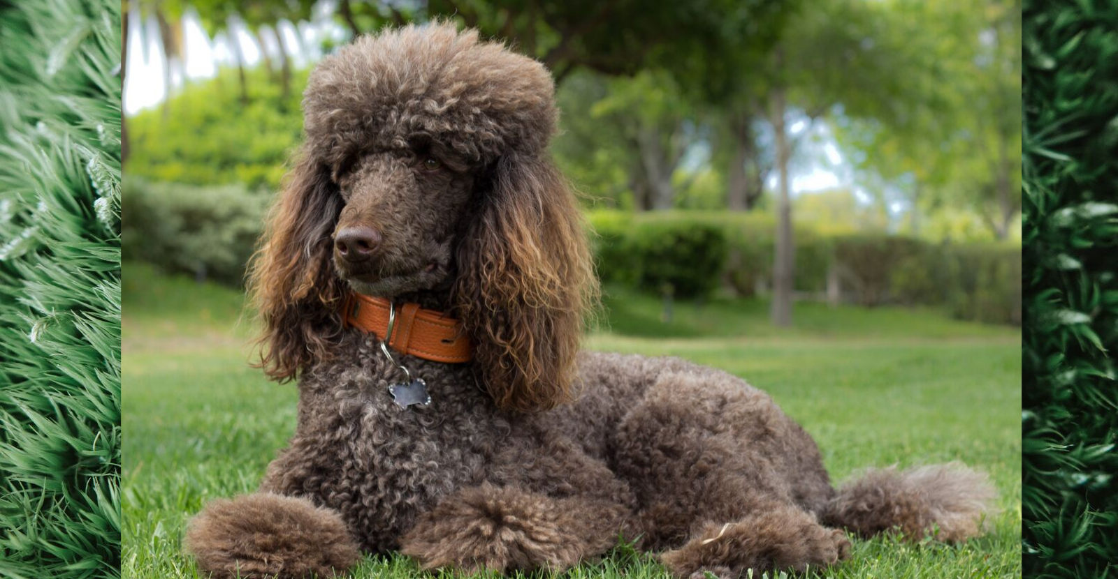 Oodles of Poodles: Proud, Perceptive, At Risk
