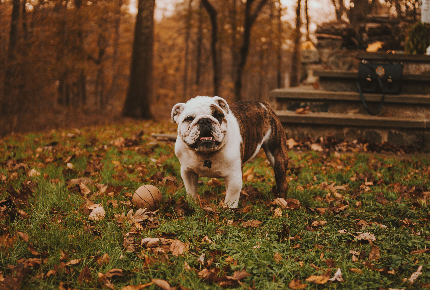 Bulldogs: Arthritis Risk Spotlight